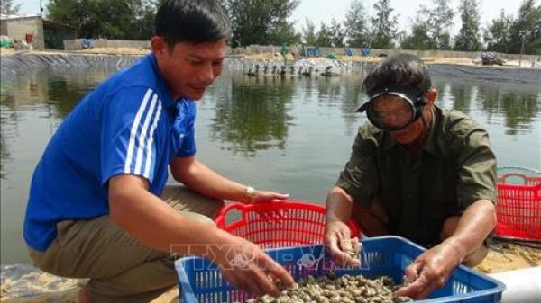 Quảng Bình: Nuôi ốc vùng ven biển cho thu nhập 1,5 tỷ/năm