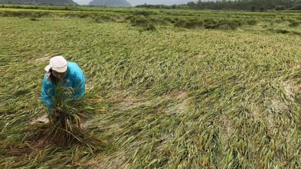 Tuyên Hóa: Các đợt giông lốc làm g.ãy đ.ổ gần 250 ha lúa đông-xuân, thiệt hại khoảng 5,3 tỷ đồng.