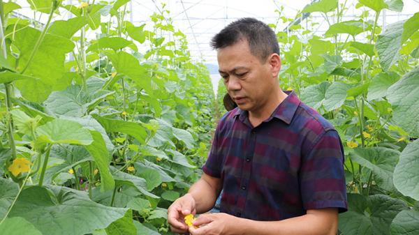 Trồng dưa lưới công nghệ cao trên vùng cát Quảng Bình