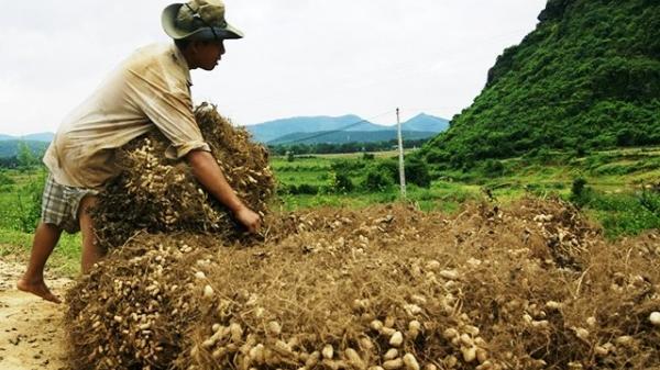 Tìm đầu ra cho nông sản ở vùng cao Quảng Bình