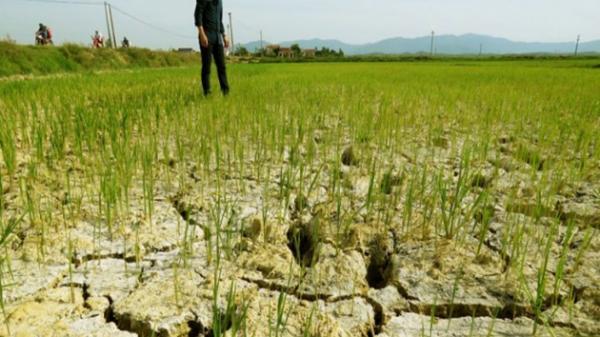 Người nông dân quay quắt nhìn đồng lúa khô quéo dưới nắng hạn