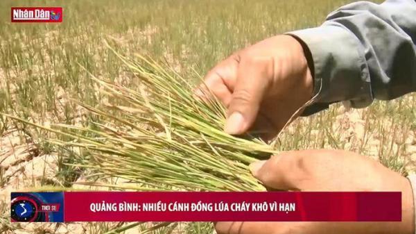 Quảng Bình: Nhiều cánh đồng lúa cháy vì khô hạn
