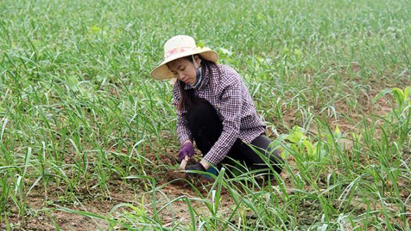 Quảng Bình: Hoàn thiện quy trình sản xuất rượu tỏi đen