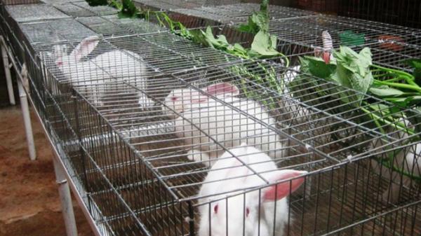 Mô hình nuôi thỏ cho thu nhập ổn định