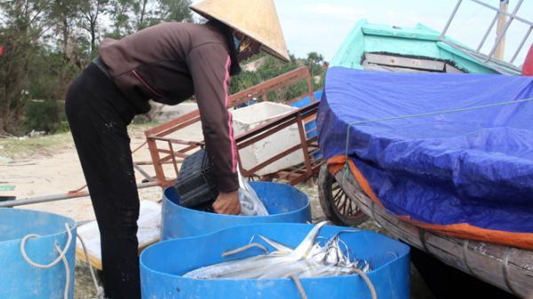 Ngư dân Hải Ninh được mùa cá hố