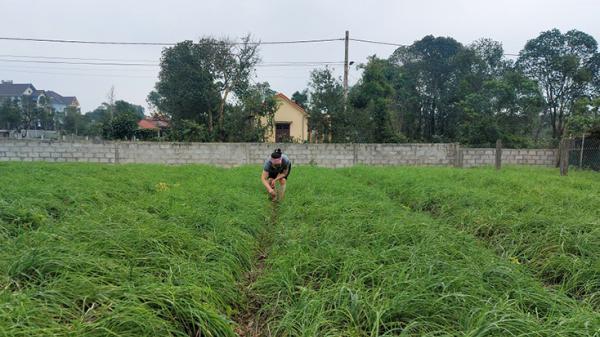 Trồng nén mang lại thu nhập cao cho người dân huyện Lệ Thủy