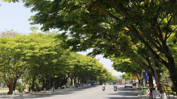 Góc Quảng Nam: Sắc sưa nhuộm vàng Tam Kỳ