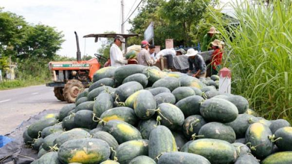Hơn 5.000 tấn dưa hấu của nông dân Quảng Nam lại chờ giải cứu