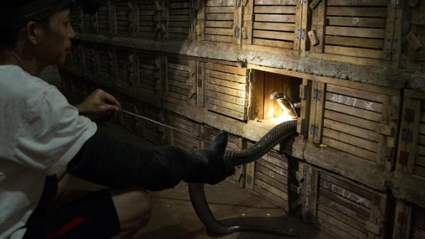 Sởn da gà với ngôi làng độc nhất vô nhị tại Việt Nam có nghề nuôi rắn hổ mang