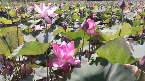 """Tận thấy những cánh đồng sen """"hái ra tiền"""" ở Duy Xuyên, Quảng Nam"""