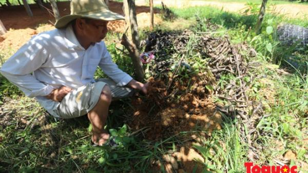 """Người trồng nghệ ở Quảng Nam như...""""đứng trên đống lửa"""""""