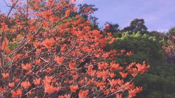 Ngẩn ngơ với Cù Lao Chàm nhuốm đỏ hoa ngô đồng