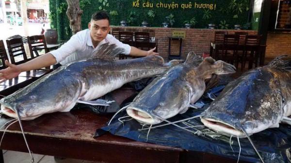 """Một nhà hàng ở Đà Nẵng mua 3 con cá lăng """"khủng"""" nặng gần 300kg về phục vụ đại gia"""