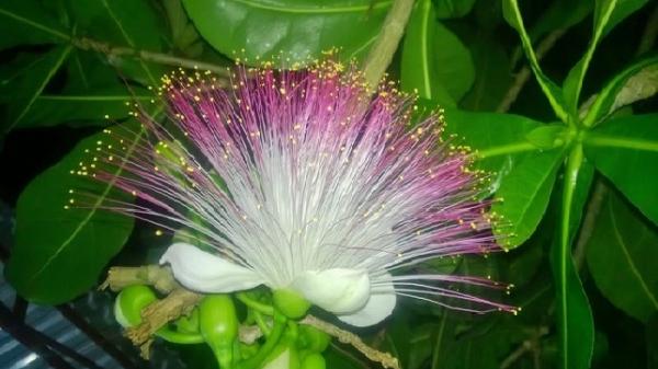 Hoa bàng vuông khoe hương sắc trên đảo tỏi Lý Sơn