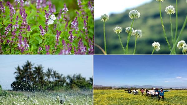 """Những cánh đồng rau gia vị """"hốt bạc triệu"""" đẹp ngẩn ngơ, bất ngờ khi nhìn thấy cánh đồng tỏi ở Lý Sơn"""