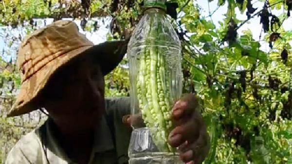 Một nông dân Quảng Ngãi trồng khổ qua trong chai nhựa bán giá gấp đôi