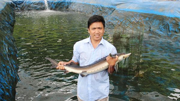 Cá tầm nuôi ở Quảng Ngãi lớn như thổi