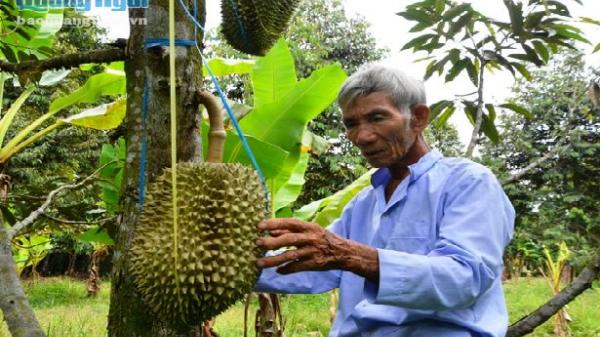 Nghĩa Hành (Quảng Ngãi): Vườn sầu riêng hạt lép của lão nông U80