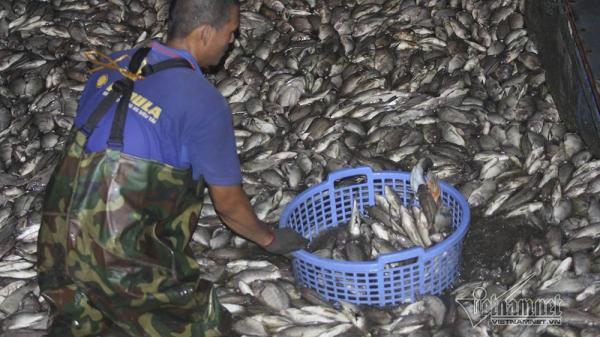 Hàng tấn cá lại chết ở hồ Tây, bì bõm xuyên đêm vớt mỏi tay