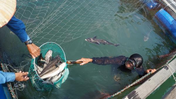 Cá nuôi lồng chết hàng loạt ở Quảng Ngãi: Bất ngờ nguyên nhân được hé lộ