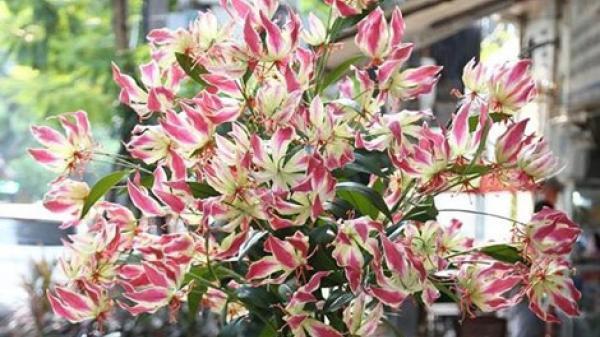 Loài hoa nhập dịp Tết khiến chị em phát cuồng mang chất KỊCH Đ ỘC có thể... gi ết người nhanh chóng