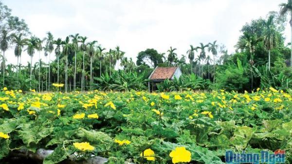 Góc Quảng Ngãi: Xa quê nhớ sắc vàng hoa mướp