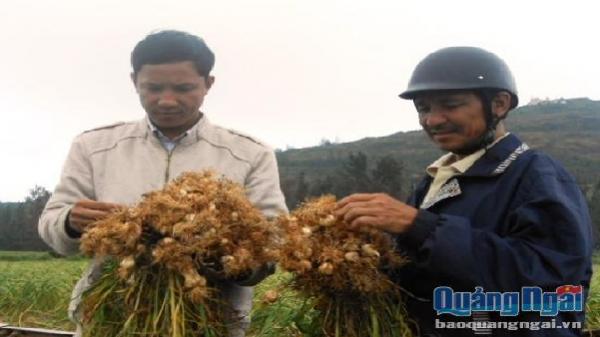 Một trang trại trồng tỏi ứng dụng công nghệ cao sẽ hình thành ở Lý Sơn