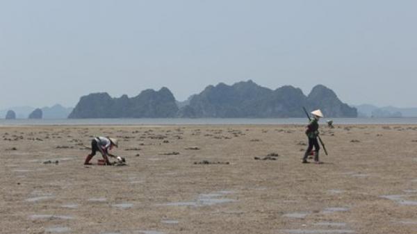 """Săn """"thần dược"""" giữa lòng di sản ở Quảng Ninh"""