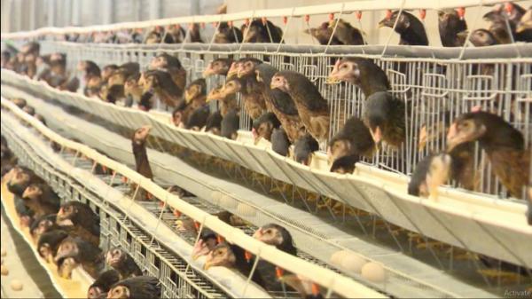 Khánh Hòa: Phát triển giống gà ri Ninh Hòa quý hiếm