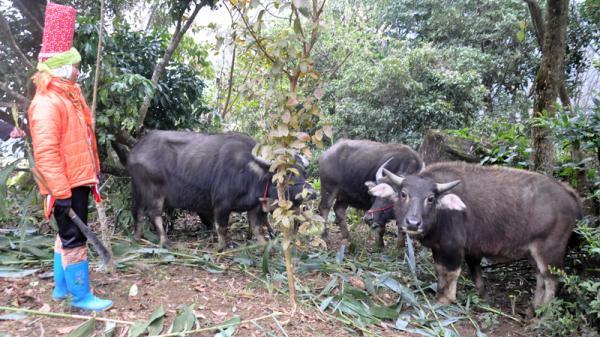 Quảng Ninh: 13 con gia súc bị chết do rét đậm, rét hại