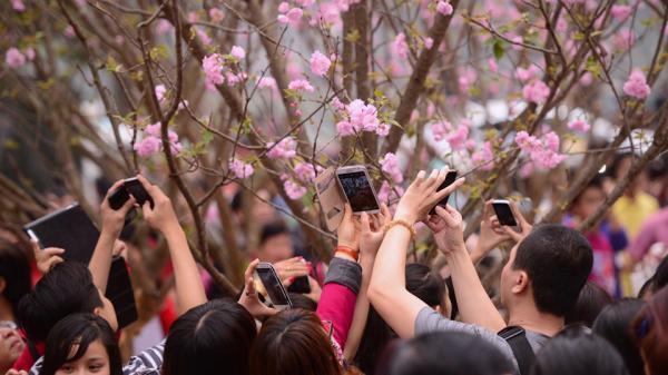 Quảng Ninh: Thay đổi thời gian tổ chức Lễ hội hoa Anh đào – Mai vàng Yên Tử