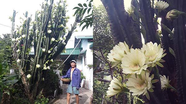 """Cận cảnh cây xương rồng """"khủng"""" ở Quảng Ninh nở từng chùm hoa trắng gây xôn xao mạng xã hội"""