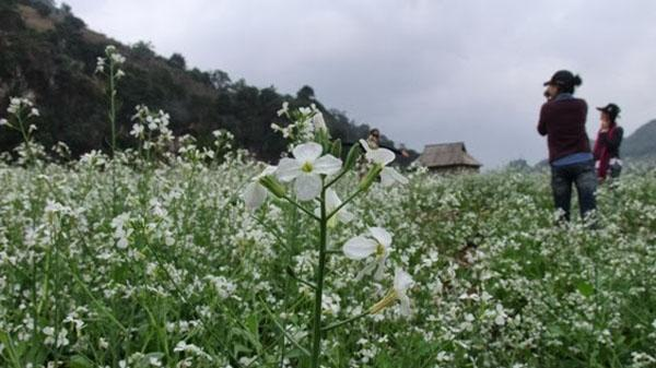 Dân phượt phát sốt vì loài hoa dại ở Bình Liêu đẹp hơn cả hoa Tam giác mạch