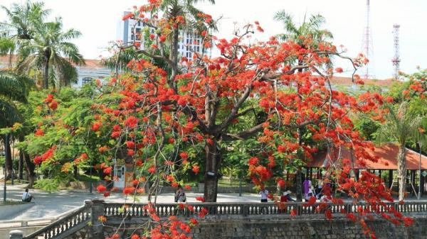 """Ngắm hoa phượng vĩ """"nhuộm đỏ"""" góc trời cố đô Huế những ngày hè"""