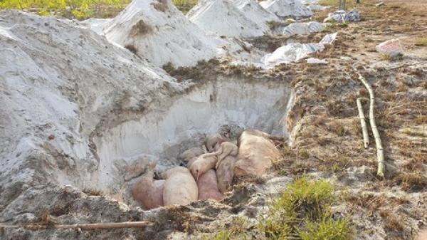 Quảng Nam: Bi hài, dân muốn tiêu hủy lợn dịch phải đóng phí