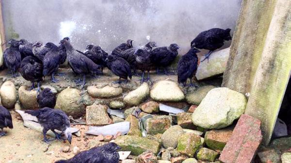 Quảng Ninh: Độc, lạ, ngon từ gà đen Bình Liêu