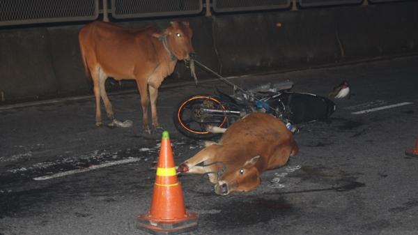 Tin mới vụ tông trúng bò, nam thanh niên nguy kịch