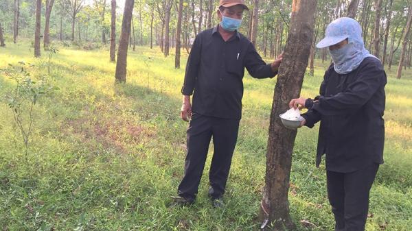 Triệu Phong: Nông dân phấn khởi nhờ mủ cao su được giá