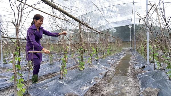Triển khai mô hình trồng rau an toàn trong nhà lưới đơn giản ở Gio Linh