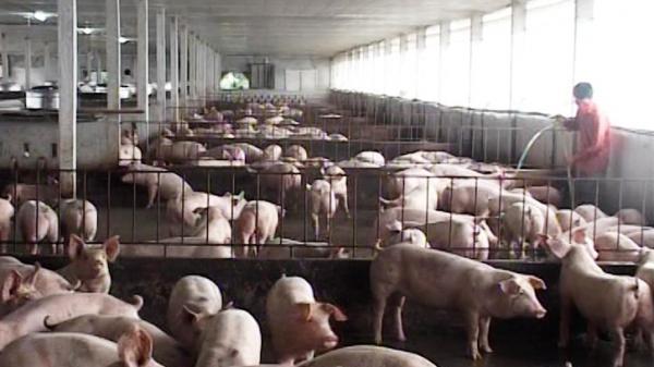 Lão nông ở Cam Lộ có mô hình chăn nuôi hiệu quả được nhiều người đến tham quan, học hỏi