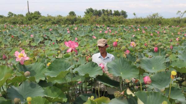 Hiệu quả trồng sen trên những vùng đất thấp trũng huyện Triệu Phong