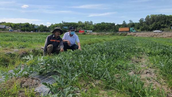 Quảng Trị: Thu nhập cao từ việc trồng dưa hấu trên đất lúa thiếu nước