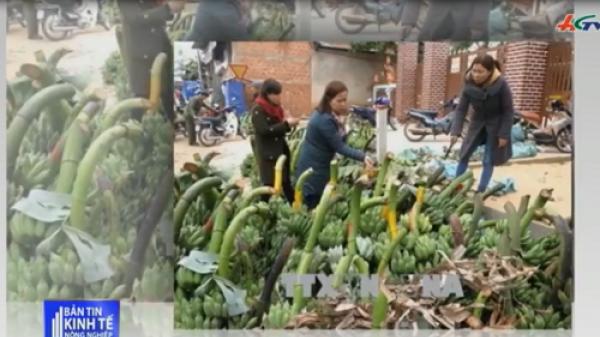 Đặc sản chuối mật mốc Quảng Trị được mùa dịp Tết