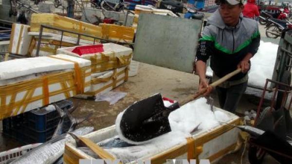 Cận Tết, ngư dân Quảng Trị trúng đậm cá thu, cá bè