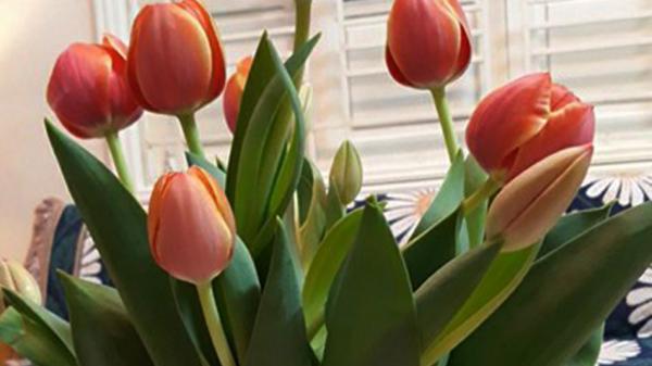 Trồng thử nghiệm thành công hoa tulip tại huyện Hướng Hóa