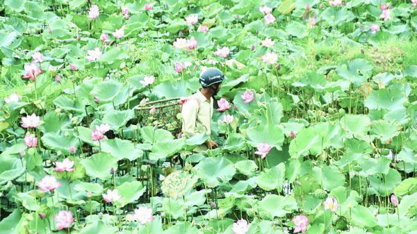 Thu nhập cao nhờ trồng sen