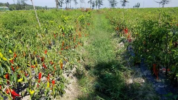 Quảng Trị: Đã xuất hiện doanh nghiệp 'giải cứu' ớt cho nông dân