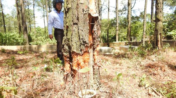 Quảng Trị: Rừng thông của TP Đông Hà bị xâm hại nghiêm trọng