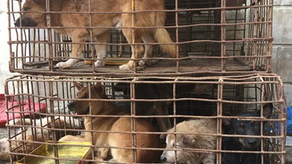 Người phụ nữ ở Triệu Phong bị khởi tố vì mua chó ăn trộm trong đêm