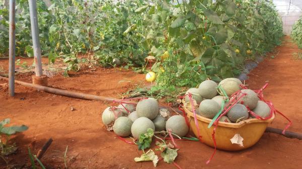 Người tiên phong trồng dưa lưới theo công nghệ cao ở xã Vĩnh Tú
